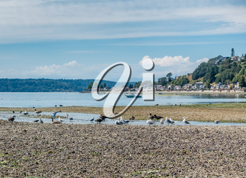 Birds sit near a streem that is flowing into the Puget Sound. Three Tree Point in Burien, Washington is in the distance.