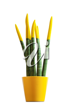Sansevieria with yellow color. Velvet touchz is a beautiful bright plant known as the tongue of the devil and mother-in-law tongue.