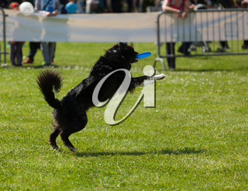 Border Collie dog palying with frisbee in outdoors park on green grass.