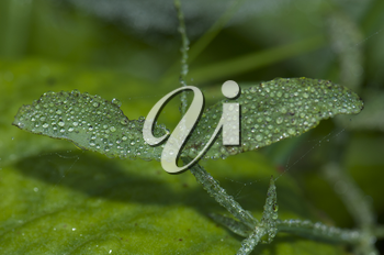 Leaves covered of dew drops. Integral Natural Reserve of Mencafete. Frontera. El Hierro. Canary Islands. Spain.