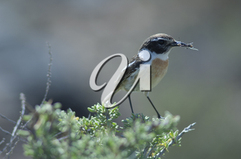 Canary Islands stonechat (Saxicola dacotiae). Male with food for its chicks. Esquinzo ravine. La Oliva. Fuerteventura. Canary Islands. Spain.